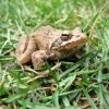 Žába - skokan hnědý