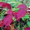 Červené listy ostružiny